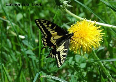 Anise Swallowtail<br />© Catherine Cook<br />Anne U. White Trail<br />Boulder County