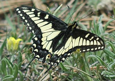Anise Swallowtail<br />© Catherine Cook<br />Bald Mountain<br />Boulder County