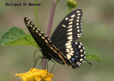 Black Swallowtail<br />© Roland H. Wauer