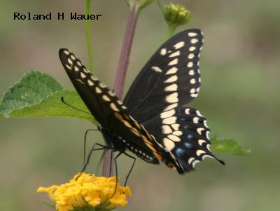 Black Swallowtail<br /> © Roland H. Wauer