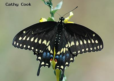 Pale Swallowtail<br />© Catherine Cook<br />Mount Lindo<br />Jefferson County
