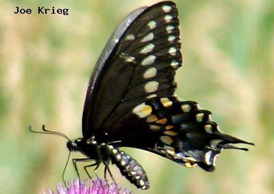 Pale Swallowtail<br />© Joe Krieg<br />Roxborough State Park<br />Jefferson County