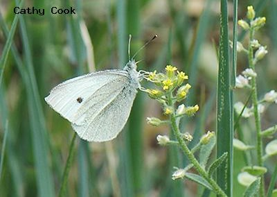 Cabbage White<br />© Catherine Cook<br />Camp Dick<br />Boulder County