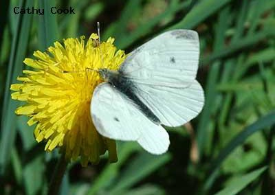 Cabbage White<br />© Catherine Cook<br />Anne U. White Trail<br />Boulder County