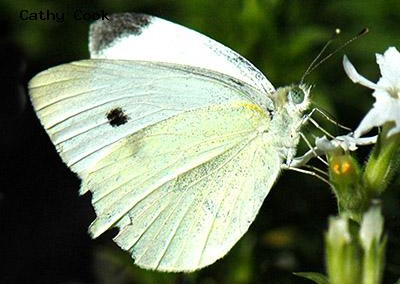 Cabbage White<br />© Catherine Cook<br />Lyons<br />Boulder County