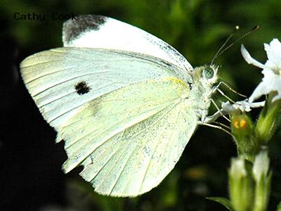 Cabbage White<br /> © Catherine Cook<br /> Lyons, Boulder County