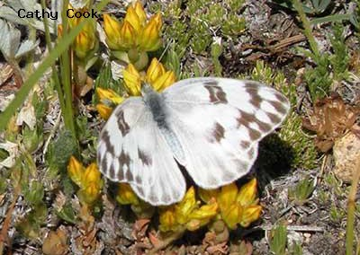 Checkered White<br />© Catherine Cook<br />Indian Peaks Wilderness<br />Boulder County