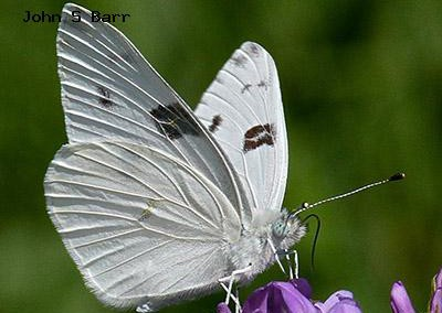 Checkered White<br />© John S. Barr