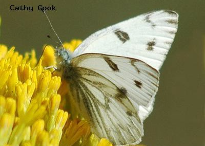 Checkered White<br />© Catherine Cook<br />Boulder County