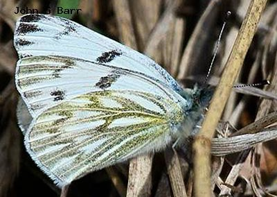 Checkered White<br />© John S. Barr<br />Sand Lake<br />Boulder County