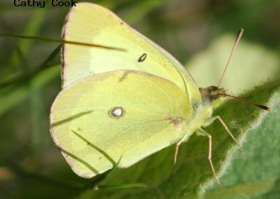 Clouded Sulphur<br />© Catherine Cook<br />Jamestown<br />Boulder County