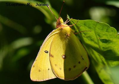 Clouded Sulphur<br />© Stephen R. Jones