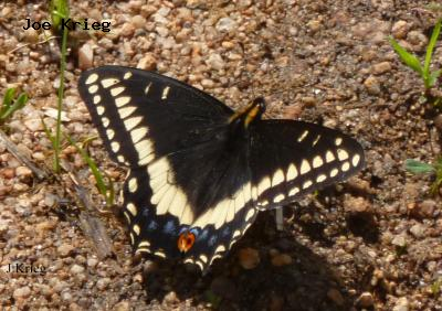 Indra  Swallowtail<br />© Joe Krieg<br />Meyers Gulch<br />Boulder County