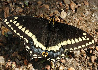 Indra  Swallowtail<br />© Christian Nunes<br />Coal Creek Hwy 72<br />Jefferson County