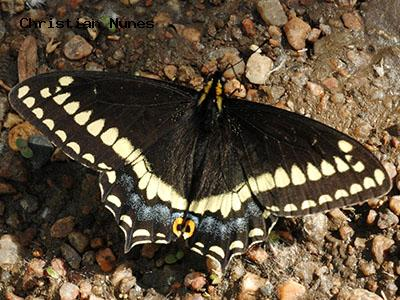 Indra Swallowtail<br /> © Christian Nunes<br /> Coal Creek Hwy 72, train bridge, Jefferson County