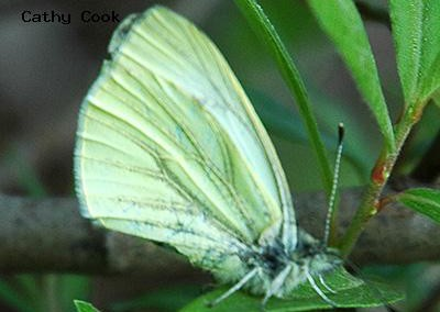 Margined White<br />© Catherine Cook<br />Boulder County