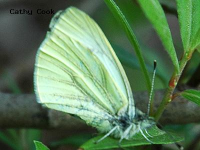 Margined White<br /> © Catherine Cook<br /> Boulder County