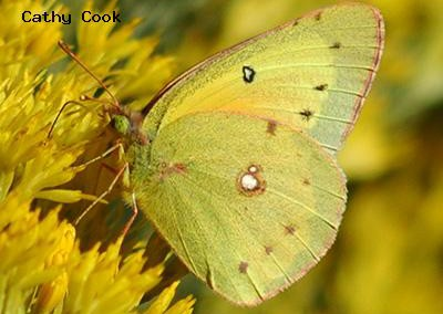 Orange Sulphur<br />© Catherine Cook<br />Boulder County