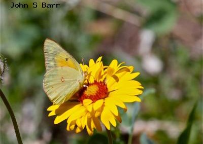 Orange Sulphur<br />© John S. Barr<br />Reynolds Ranch<br />Boulder County