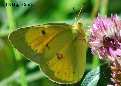 Orange Sulphur<br />© Catherine Cook<br />Anne U. White Trail<br />Boulder County