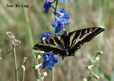 Pale Swallowtail<br />© Joe Krieg<br />Heil Valley Ranch<br />Boulder County
