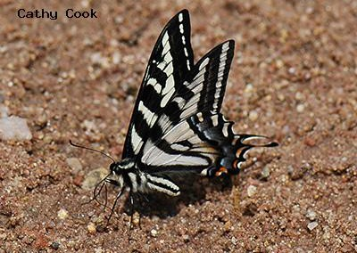 Pale Swallowtail<br />© Catherine Cook<br />Heil Valley Ranch<br />Boulder County