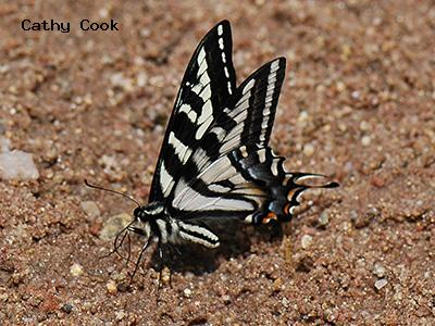 Pale Swallowtail<br /> © Catherine Cook<br /> Heil Valley Ranch, Boulder County