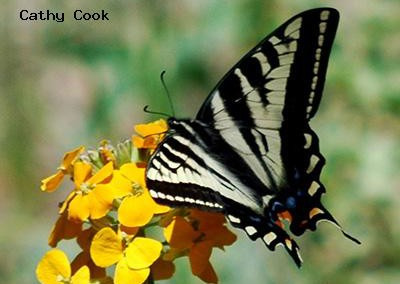Pale Swallowtail<br />© Catherine Cook<br />Allenspark<br />Boulder County