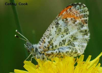 Rocky Mountain Orangetip (julia)<br />© Catherine Cook<br />Meyers Gulch<br />Boulder County