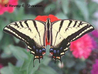 Two-Tailed Swallowtail<br /> © Joe Krieg<br /> Heil Valley Ranch, Boulder County