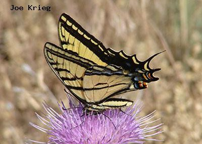 Two-tailed  Swallowtail<br />© Joe Krieg<br />Roxborough State Park<br />Jefferson County