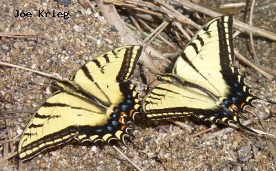 Two-tailed  Swallowtail<br />© Joe Krieg<br />Boulder County