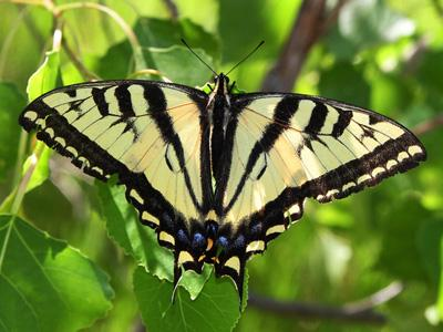 Western Tiger Swallowtail<br /> © Glen Walbek<br /> Douglas County