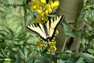 Western Tiger Swallowtail<br />© Catherine Cook<br />Caribou Ranch<br />Boulder County