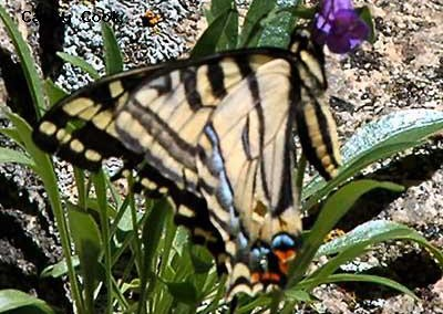 Western Tiger Swallowtail<br />© Catherine Cook<br />Anne U. White Trail<br />Boulder County