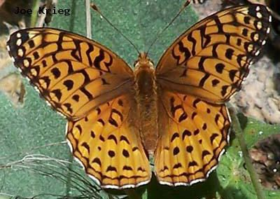 Aphrodite Fritillary<br />© Joe Krieg<br />Heil Valley Ranch<br />Boulder County