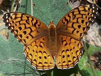 Aphrodite Fritillary<br /> © Joe Krieg<br /> Heil Valley Ranch<br /> Boulder County
