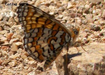 Arachne Checkerspot<br />© Catherine Cook<br />Jefferson County