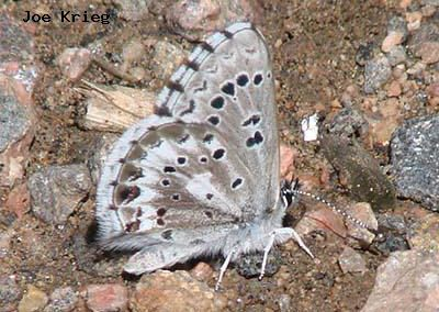 Arrowhead Blue<br />© Joe Krieg<br />Heil Valley Ranch<br />Boulder County