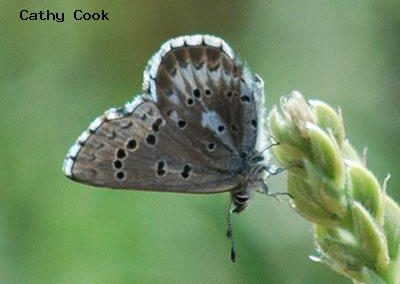 Arrowhead Blue<br />© Catherine Cook<br />Heil Valley Ranch<br />Boulder County