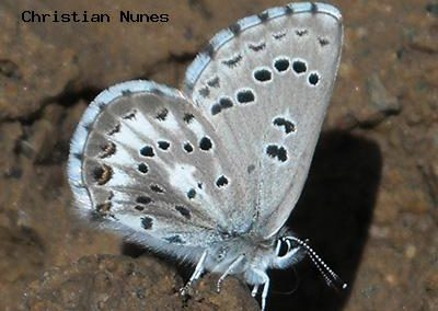Arrowhead Blue<br />© Christian Nunes<br />Fowler Trail<br />Boulder County