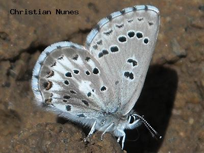 Arrowhead Blue<br /> © Christian Nunes<br /> Fowler Trail<br /> Boulder County