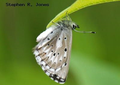 Arrowhead Blue<br />© Stephen R. Jones