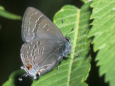 Banded Hairstreak<br /> © Bryan Reynolds