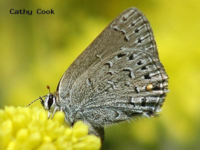 Behr's Hairstreak<br /> © Cathy Cook<br /> Mount Lindo<br /> Jefferson County
