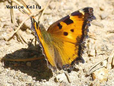 California Tortoiseshell<br /> © Venice Kelly