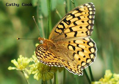 Callippe Fritillary<br />© Catherine Cook<br />Boulder County