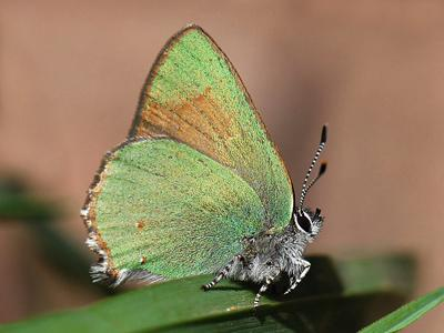 Canyon Bramble Hairstreak<br /> © Stephen R. Jones