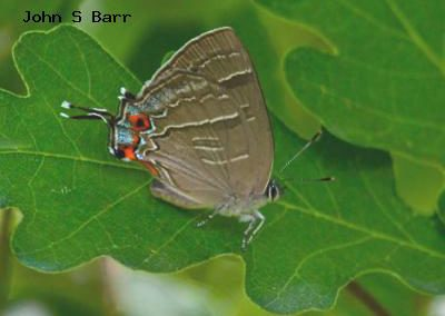 Colorado Hairstreak<br />© John S. Barr<br />Roxborough State Park<br />Douglas County