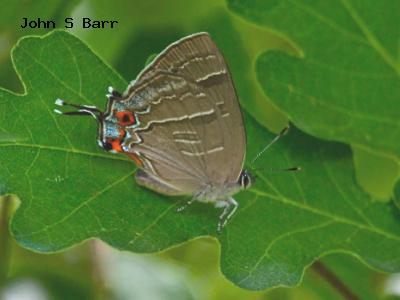 Colorado Hairstreak<br /> © John S Barr<br /> Roxborough State Park<br /> Douglas County